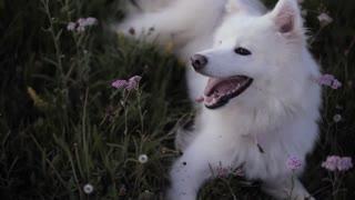 Very beautiful Samoyed, pure white is full of extravagance