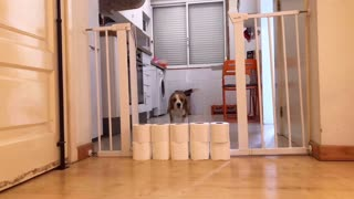 Toilet Paper Stacked to High for Doggo