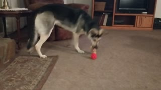 German Shepherd Abby - Playing with 2 Toys at Once