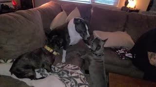 SWEET PITBULL PLAYING WITH TINY DOGS