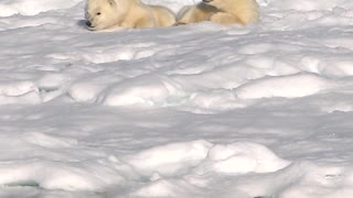 Polar Bears: Mother & Cubs encounter