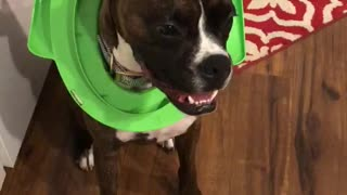 Boxer Gets Head Stuck in Child's Toilet Seat