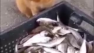 the cat steals a fish