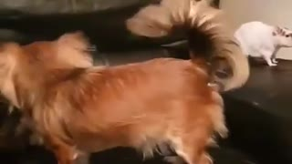 Dog Rat And Cat Play Fighting on the coach