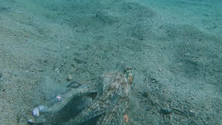 Octopus Scoots to Safety
