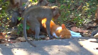 Cute Relationship Between Monkeys and Cat