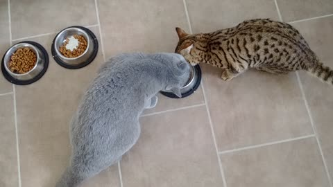 Intelligent cat knows how to outsmart larger feline