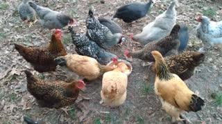 ASMR spaghetti eating chickens and guineas
