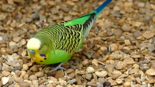 Watch the green yellow-headed parrot eating in its freedom