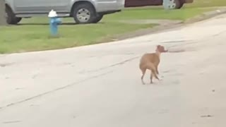 This crazy dog wants to be a human being so bad