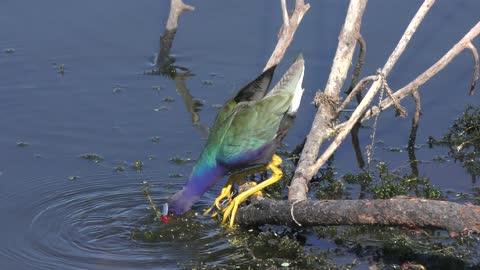 Purple Gallinule feeds in a lake