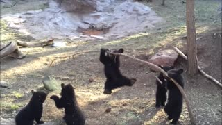 Cutest Bear cubs playing Compilation