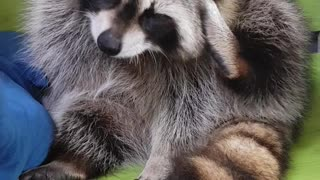 Raccoon with itchy ears