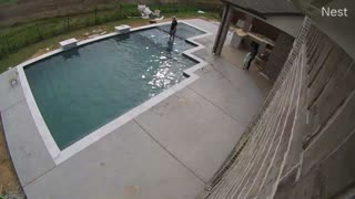 Saving French Bulldog From Drowning in Pool