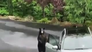 Bear opens car door