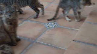 Gatos En Grupo