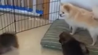 Pomeranian Puppies Stay with Mom for 8 Weeks