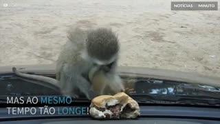 Macaco tenta comer hambúrguer... por trás do vidro!