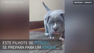 Pitbull faz o ataque mais fofo de todos