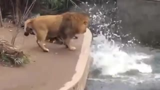 Even lions 🦁 have embarrassing moments