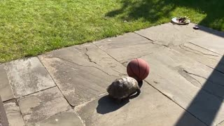 Turtle incredibly plays outside with a basketball