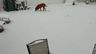 Rhodesian Ridgeback - Lulu's First Snowfall