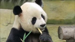 Panda's Favorite food