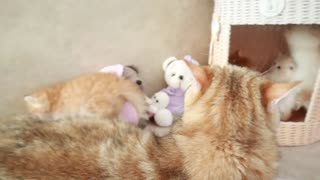 Mom Cat playing and talking to her Cute Meowing baby Kittens