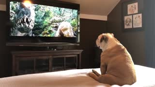 Bulldog incredible reaction to actress in trouble