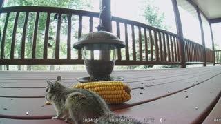 Chipmunk Eating Corn!