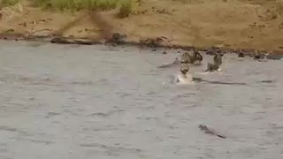 Crocodile hunting zebras