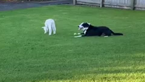 Dog and lamb playtime is the sweetest of animal friendships