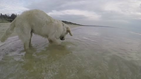 Golden Retriever puppy dives for crabs in sea
