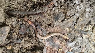 Exposed Worm