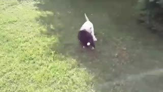 White dog and black dog playing the grass