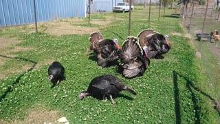 Turkeys - Wild not so wild