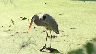 great blue heron grooming its feathers