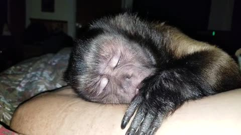 """Watch as a Capuchin Monkey Says """"Night, Night"""" Before Going to Sleep!"""