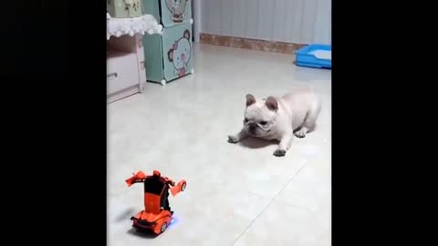 Cute And Funny Baby Bulldog Gets Scared Of A Toy Transforming Car And Runs Away😂