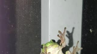 Adorable tree frog on window