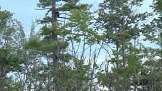 Black Bear Family Climbing Around in a Tall Tree