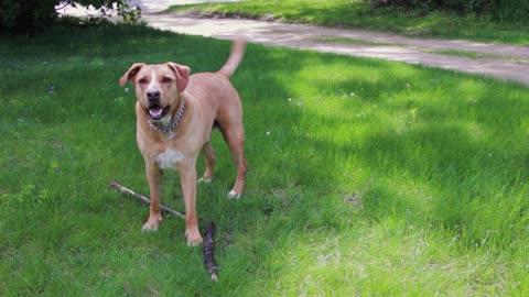my best and big dog funny pitbull take wood