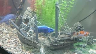 Aquarium fish eating another fish