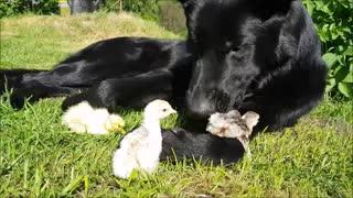 Compilation of German Shepherd's adorable farm friends