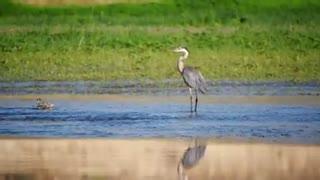 Watch the beautiful blue heron taking a stroll on the sandy beach