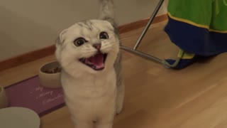 Crazy hungry scottish fold kitten