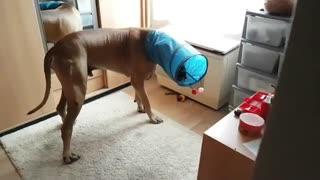 Great Dane gets head stuck in cat tunnel