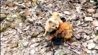 Funny fight between dogs and chickens