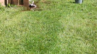 Duck enjoying puddle