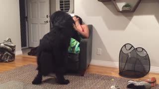 Massive Newfoundland thinks he's a lap dog